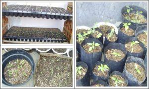 Wadah persemaian dan pemindahan tanaman di polybag